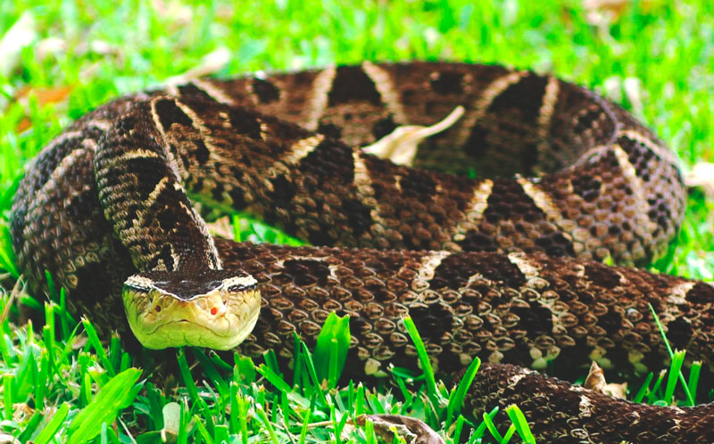 serpiente-terciopelo