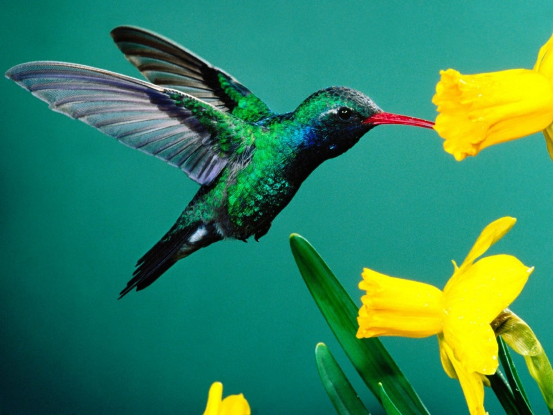 Colibri-verde